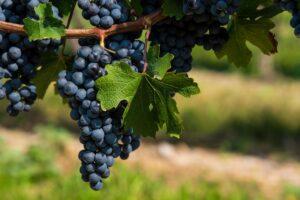 uvas autóctones